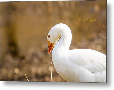 Metal Print featuring the photograph White Duck by Eleanor Abramson