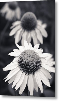 White Echinacea Flower Or Coneflower Metal Print by Adam Romanowicz