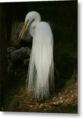 White Egret In The Shadows Metal Print