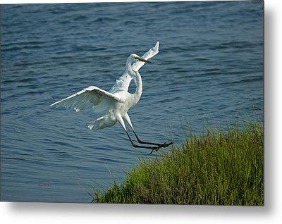 White Egret Landing 2 Metal Print by Ernie Echols