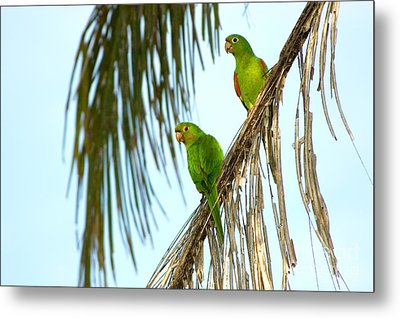 White-eyed Parakeets, Brazil Metal Print by Gregory G. Dimijian, M.D.