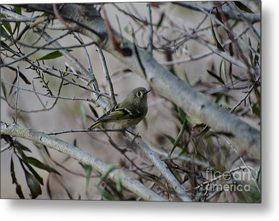 White-eyed Vireo Metal Print by Donna Brown
