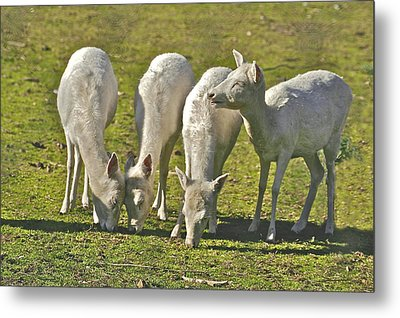 White Fallow Deer Mt Madonna County Park Metal Print