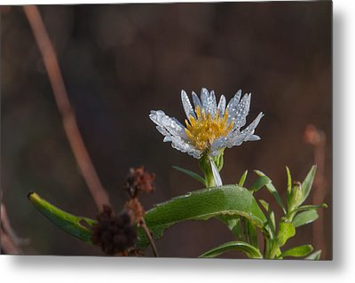 Metal Print featuring the photograph White Flower Dew-drops Autumn by Jivko Nakev