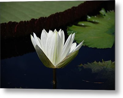 White Flower Growing Out Of Lily Pond Metal Print by Jennifer Ancker