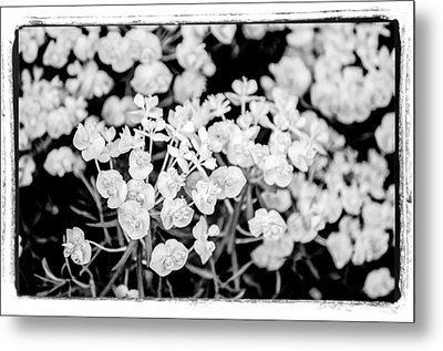 Metal Print featuring the photograph White Flowers  by Craig Perry-Ollila