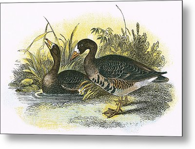 White Fronted Goose Metal Print by English School