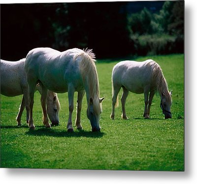 White Horses, Ireland Metal Print by The Irish Image Collection