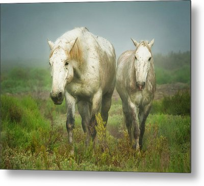 White Horses Of Camargue In Field Metal Print by Sheila Haddad