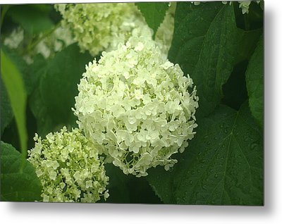 Metal Print featuring the photograph White Hydrangea Blossoms by Suzanne Powers