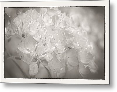 Metal Print featuring the photograph White Hydrangea by Craig Perry-Ollila