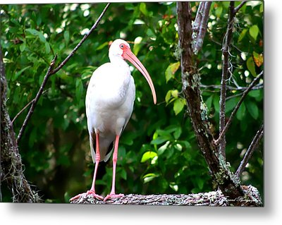 White Ibis Metal Print by Debra Forand