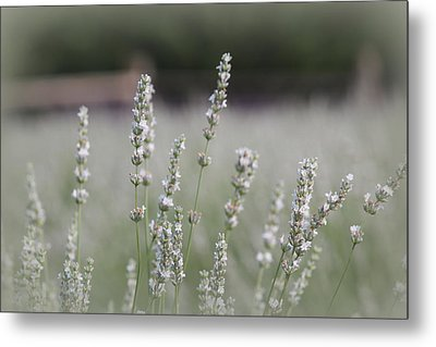 White Lavender Metal Print by Lynn Sprowl