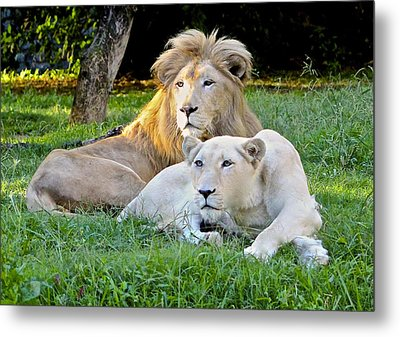 White Lion And Lioness Metal Print by Venetia Featherstone-Witty