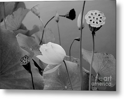 White Lotus Flowers In Balboa Park San Diego Metal Print by Julia Hiebaum