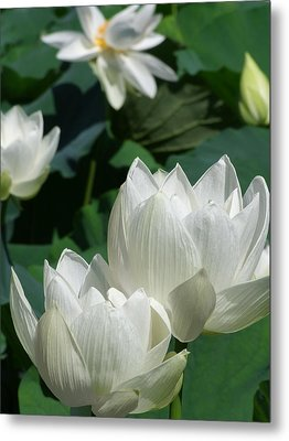 White Lotus Metal Print by Larry Knipfing