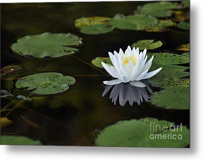 Metal Print featuring the photograph White Lotus Lily Flower And Lily Pad by Glenn Gordon