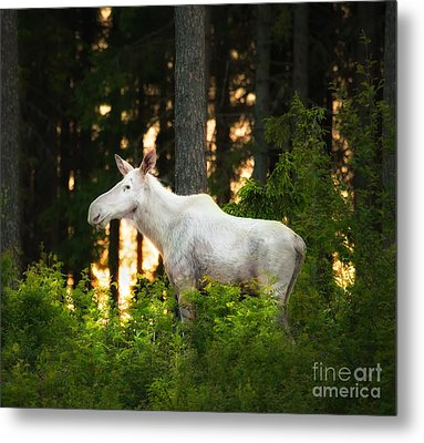 Metal Print featuring the photograph White Moose In Sunset by Rose-Maries Pictures
