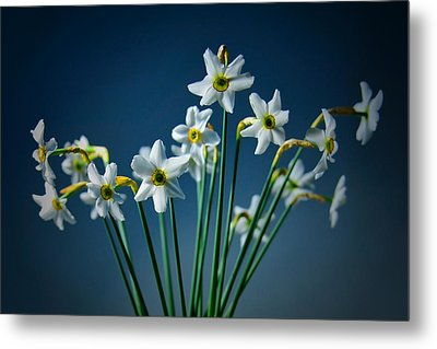 White Narcissus On A Dark Blue Background Metal Print