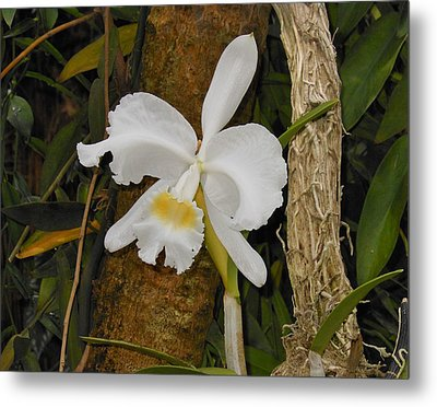 White Orchid Metal Print by Kay Gilley