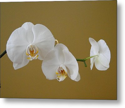 White Orchid's Metal Print by Cindy Croal