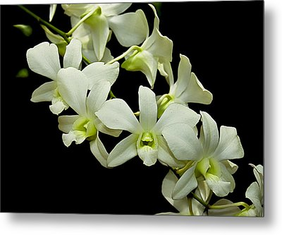 White Orchids Metal Print by Swank Photography