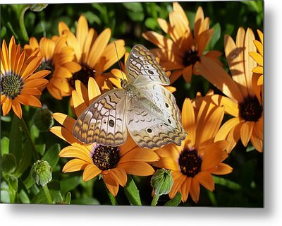 Metal Print featuring the photograph White Peacock Butterfly by Cindy McDaniel