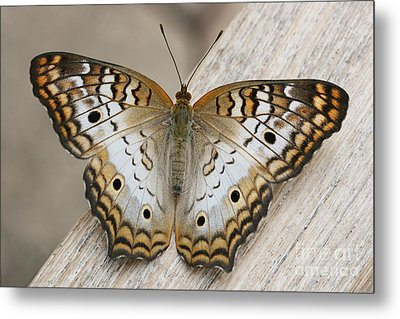White Peacock Butterfly Metal Print by Judy Whitton