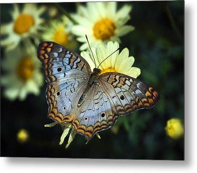 White Peacock Butterfly On A Daisy Metal Print by Saija  Lehtonen
