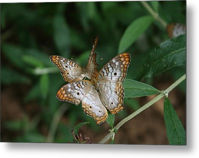 White Peacock Butterflies Metal Print