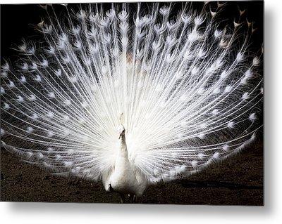 White Peacock Metal Print by Daniel Precht