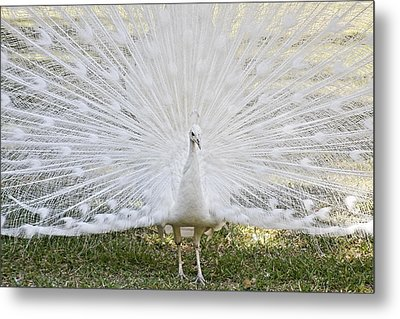 White Peacock - Fountain Of Youth Metal Print by Christine Till