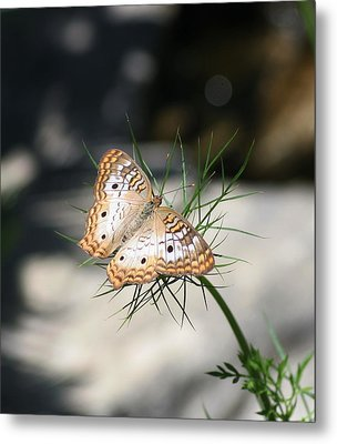Metal Print featuring the photograph White Peacock by Karen Silvestri