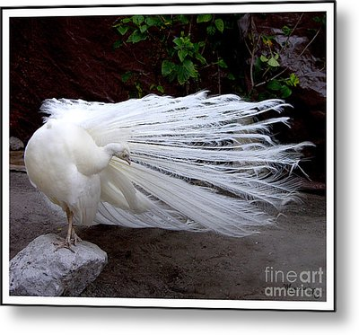 Metal Print featuring the photograph White Peacock by Mariarosa Rockefeller