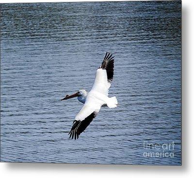 White Pelican In Flight Metal Print