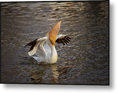 Metal Print featuring the photograph White Pelican by Sharon Jones