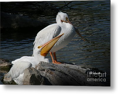 White Pelicans Metal Print by E B Schmidt