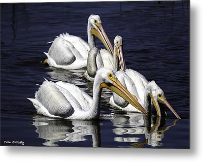White Pelicans Fishing Metal Print