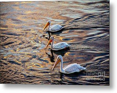White Pelicans  In Golden Water Metal Print by Robert Bales