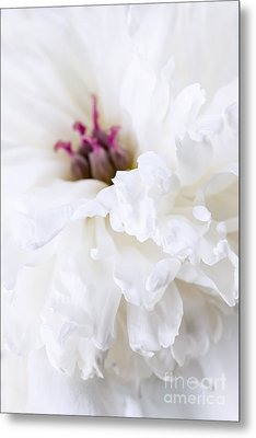 White Peony Flower Close Up Metal Print by Elena Elisseeva