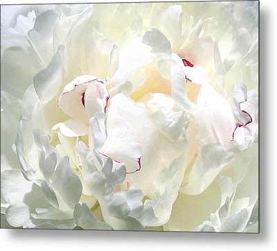 White Peony Metal Print by Will Borden