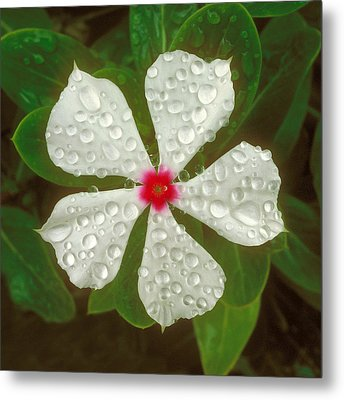 Metal Print featuring the photograph White Periwinkle by Mark Greenberg
