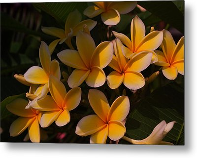 White Plumeria Metal Print by Miguel Winterpacht