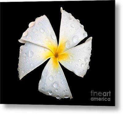 White Plumeria Or Frangipani Flower With Raindrops On Black Metal Print by Valerie Garner
