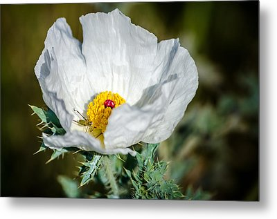White Prickly Poppy Wildflower Metal Print by Debra Martz