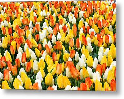 White Orange And Yellow Tulips Metal Print by Menachem Ganon
