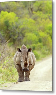White Rhino Metal Print by Bildagentur-online/mcphoto-schaef