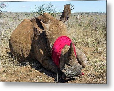White Rhino Conservation Operation Metal Print