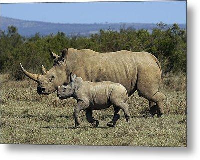 White Rhinoceros And Calf Kenya Metal Print by Hiroya Minakuchi