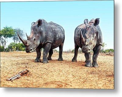 White Rhinoceros Bulls Metal Print by Peter Chadwick